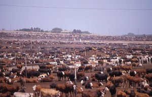 cattle-feedlot