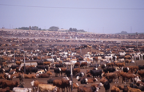 Crowded conditions in a beef cattle feedlot.